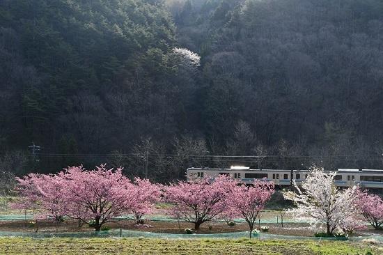 2020年4月26日撮影 辰野線 花桃と153M E127系と山桜
