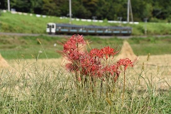 2020年9月26日撮影 飯田線は210M 211系と彼岸花