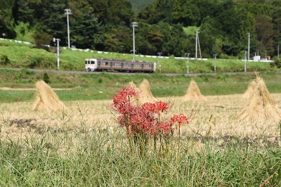 2020年9月26日撮影 飯田線は1415M 313系と彼岸花