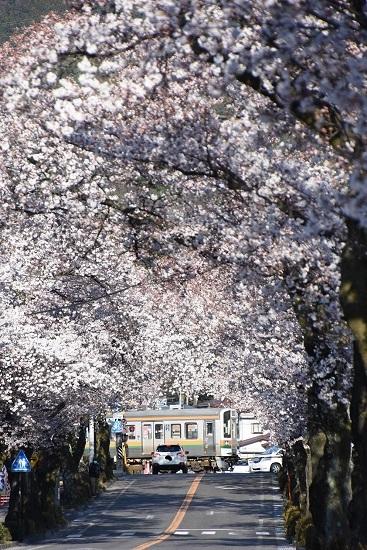 2020年4月11日撮影 飯田線は宮木の桜並木と204M 213系