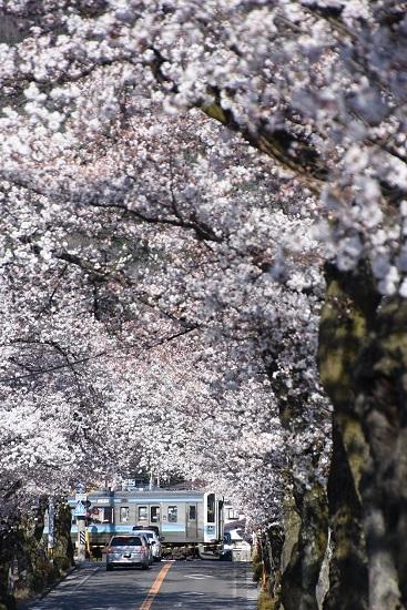 2020年4月11日撮影 飯田線は宮木の桜並木と2209M 211系 「快速みすず」