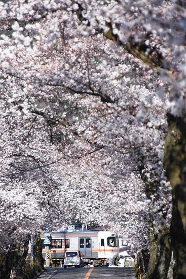 2020年4月11日撮影 飯田線は宮木の桜並木と1408M 313系