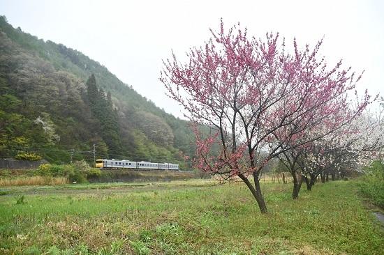 2020年5月10日撮影 中央西線 キヤ95 DR1編成 花桃