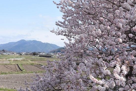 2020年4月12日撮影 飯田線 手長桜と213M 313系1700番台