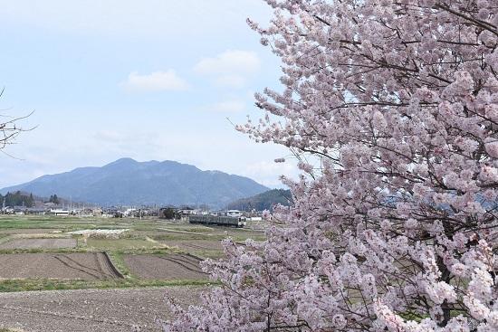 2020年4月12日撮影 飯田線 手長桜と210M 211系
