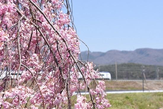 2020年4月25日撮影 26M E353系「あずさ2号」と枝垂れ桜 桜にピント