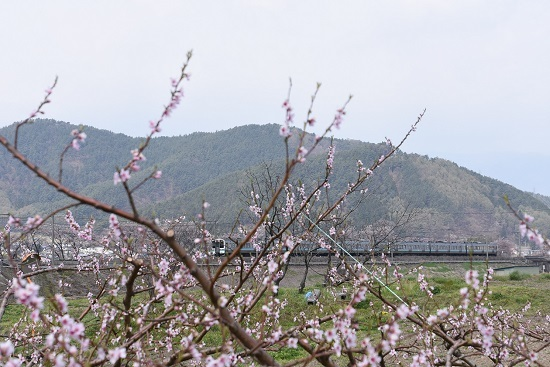 2020年4月26日撮影 みどり湖にて 434M 211系と桃の花
