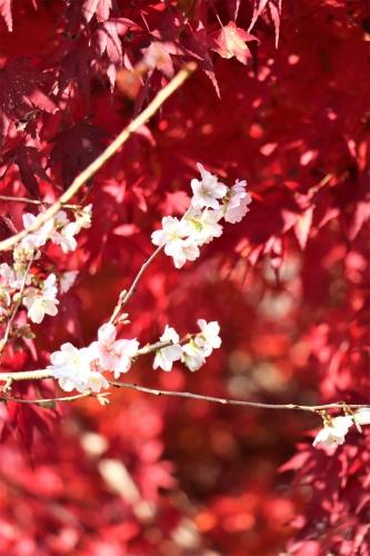 川見四季桜