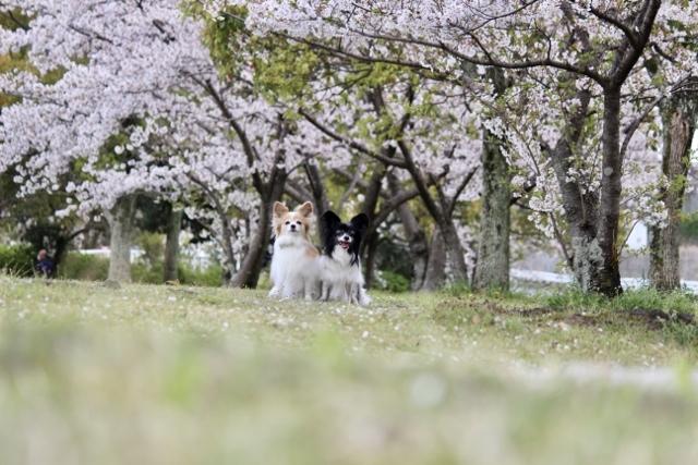 2020・4 ソメイヨシノ幸公園 (9) (640x427)