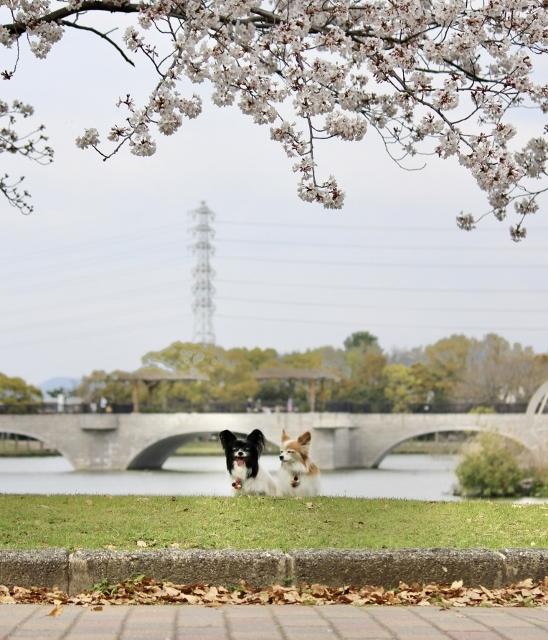2020・4 ソメイヨシノ幸公園 (63) (548x640)