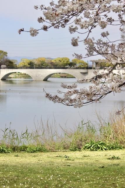 2020・4 ソメイヨシノ幸公園 (73) (427x640)