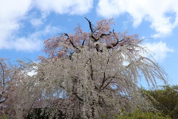 2020.04.05 桜(円山公園)-1