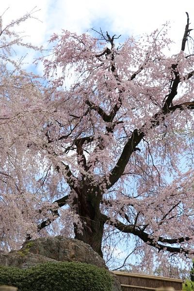 2020.04.05 桜(円山公園)-2
