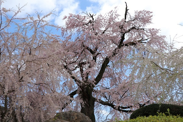 2020.04.05 桜(円山公園)-3