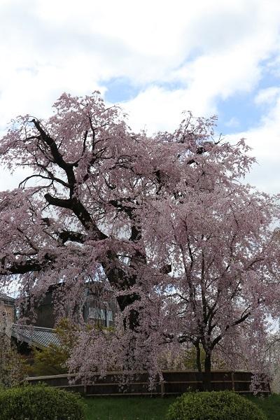 2020.04.05 桜(円山公園)-4