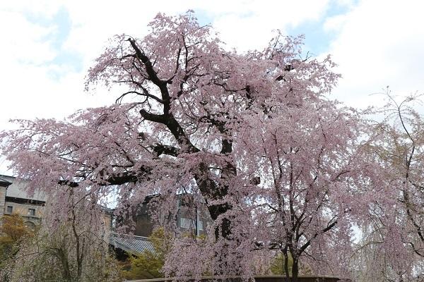 2020.04.05 桜(円山公園)-5