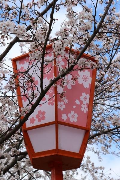 2020.04.05 桜(円山公園)-6
