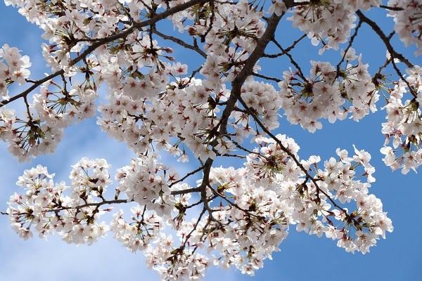 2020.04.05 桜(円山公園)-7