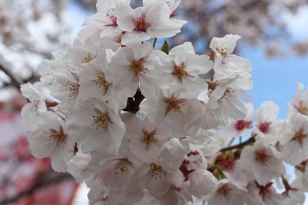 2020.04.05 桜(円山公園)-8