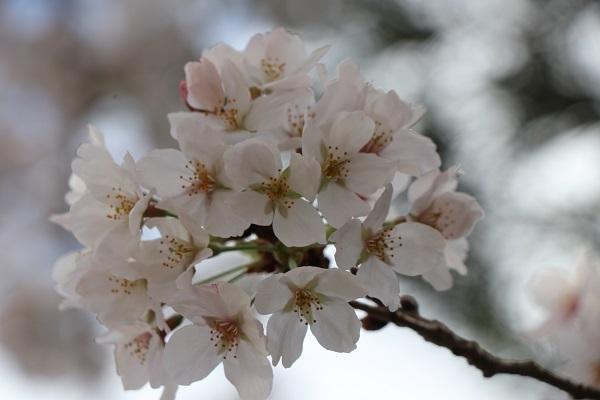2020.04.05 桜(円山公園)-9