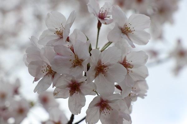 2020.04.05 桜(円山公園)-10