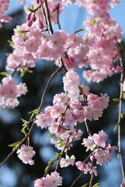 2020.04.07 お花見(長岡天満宮)①-5