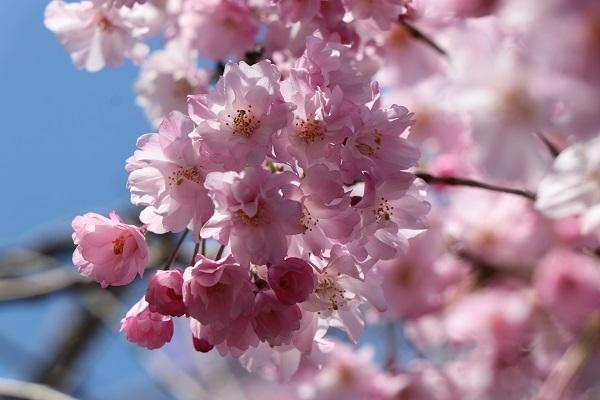 2020.04.07 お花見(長岡天満宮)①-9