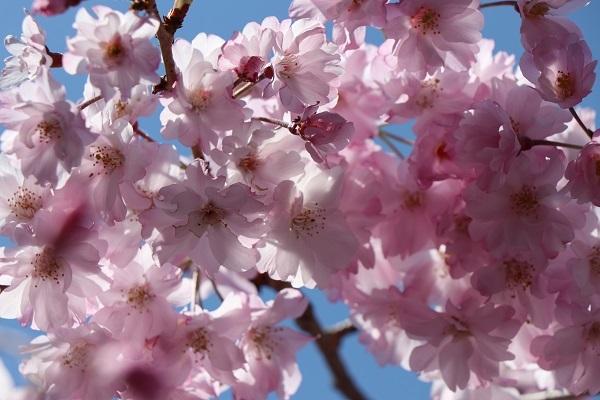 2020.04.07 お花見(長岡天満宮)①-10