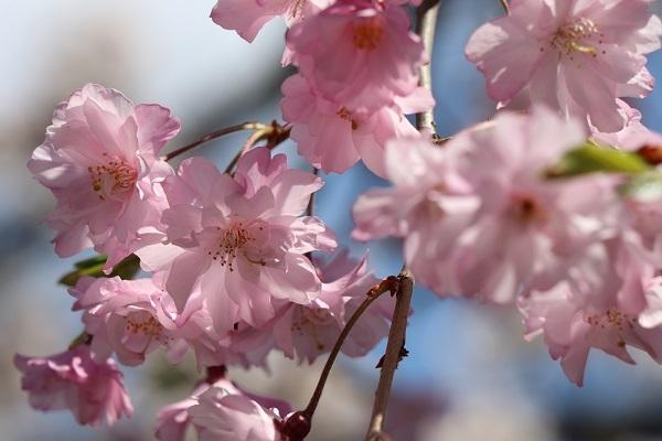 2020.04.07 お花見(長岡天満宮)①-11