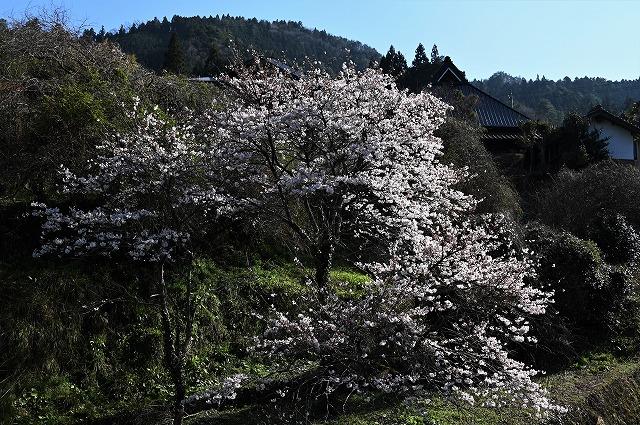 棚田の春2