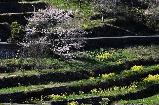 棚田の春3