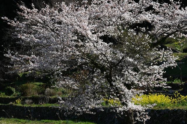棚田の春10