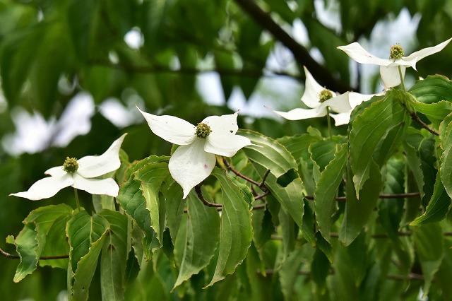 花6ヤマボウシ