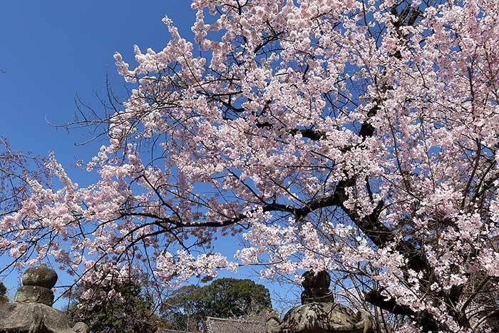氷室神社 枝垂桜6