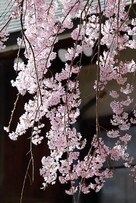 氷室神社 枝垂桜2