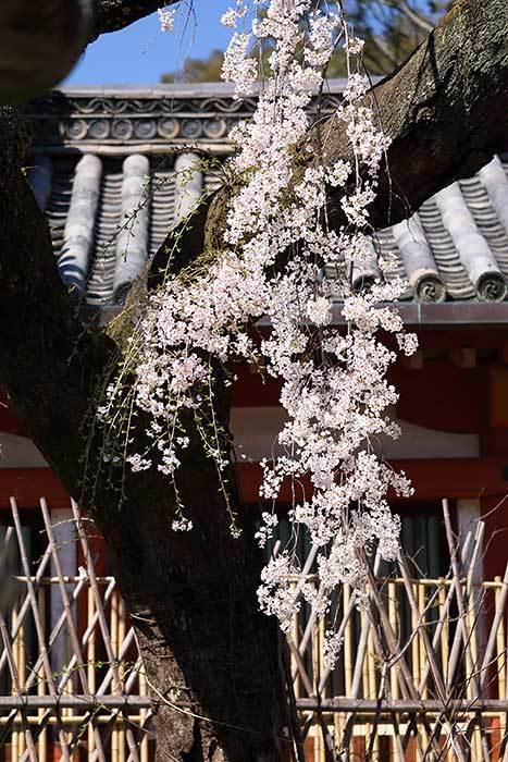 氷室神社 枝垂桜4