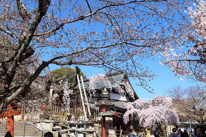 氷室神社 枝垂桜5