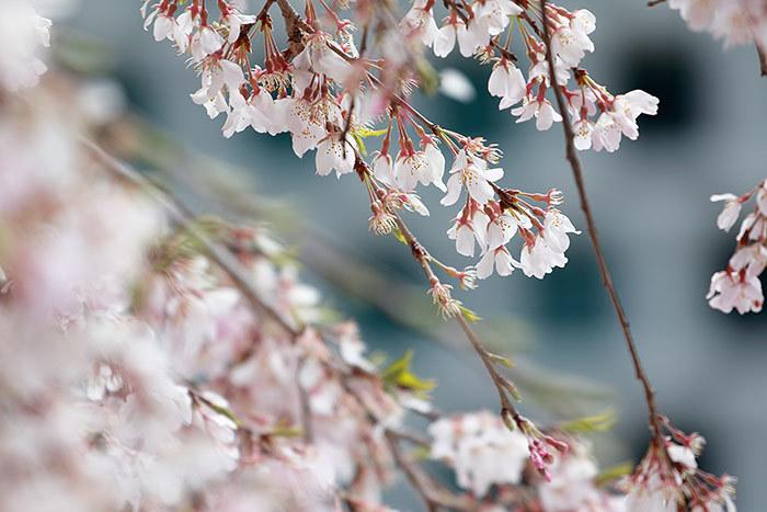 大和文華館 三春滝桜3
