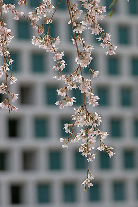 大和文華館 三春滝桜4