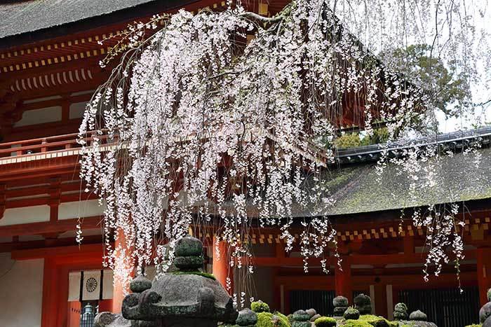 春日大社 枝垂桜3