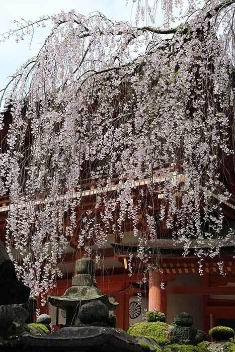 春日大社 枝垂桜1