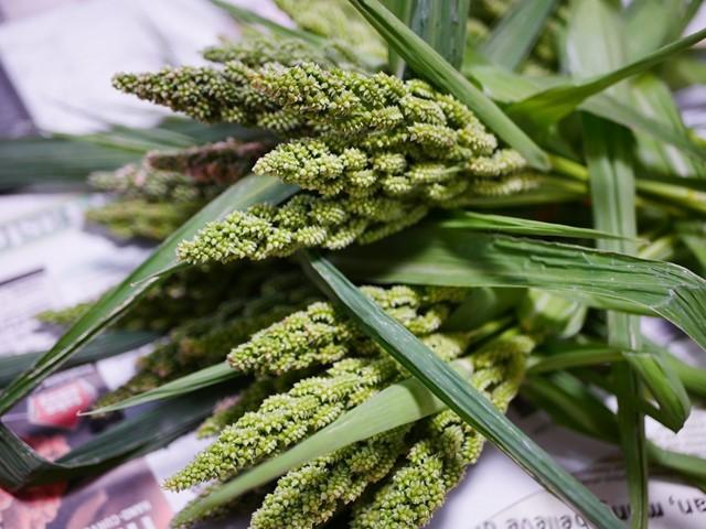 稗の半熟生穂