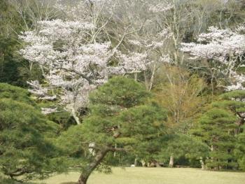 春2020年桜1