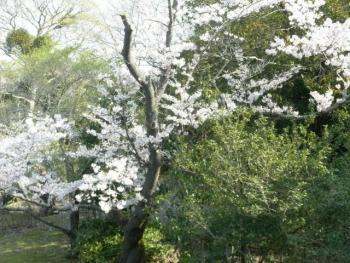 春2020年桜2