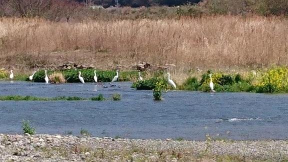 東温市4見奈良の河川敷では、白鷺の群れが羽を休めていました