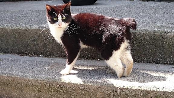 東温市5左後ろ足の先がなくなり、びっこを引いていたクールスモールの猫ちゃん