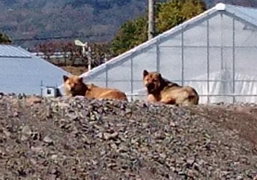 東温市9工事現場にいた犬ちゃんたち