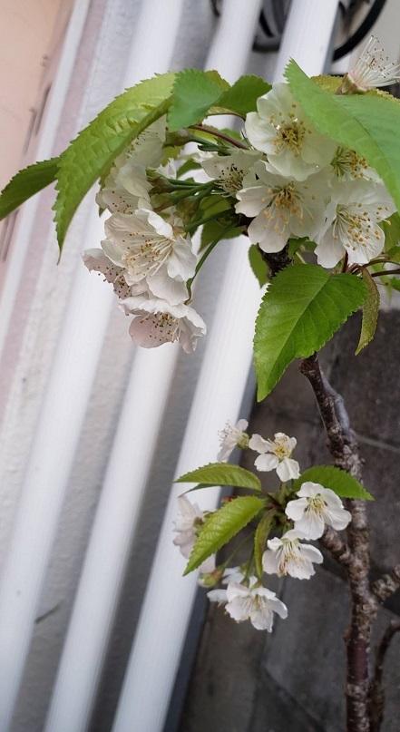 激しい雨の翌日、散らないで咲いてくれていたさくらんぼの花