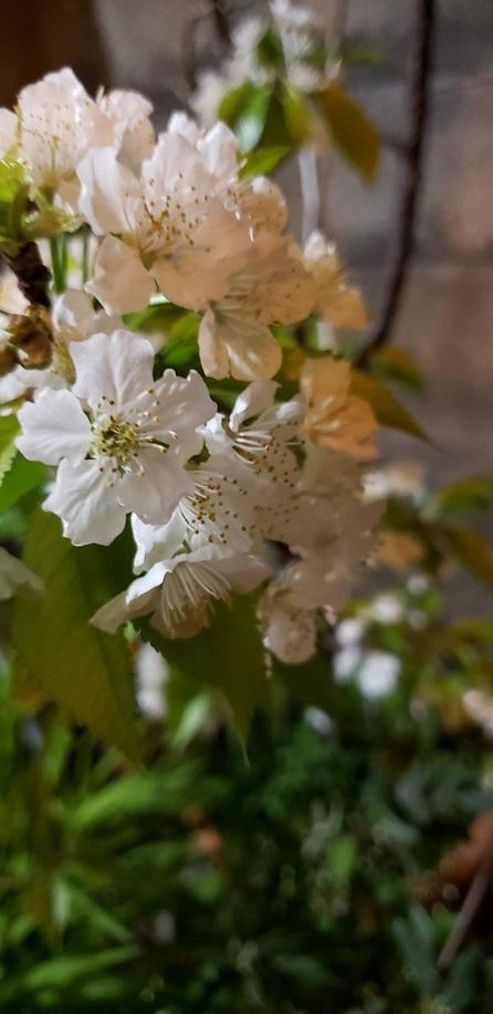 庭で咲くさくらんぼを愛で夜桜