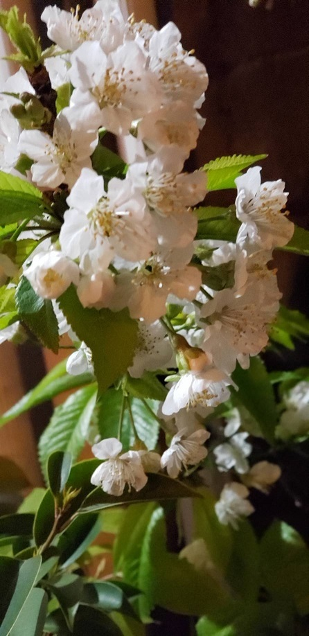庭で咲くさくらんぼ②